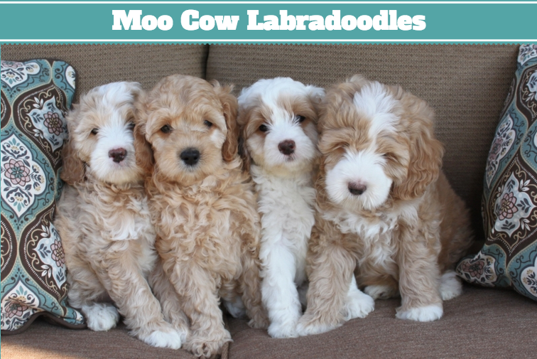 Australian Labradoodle Puppies in California — California
